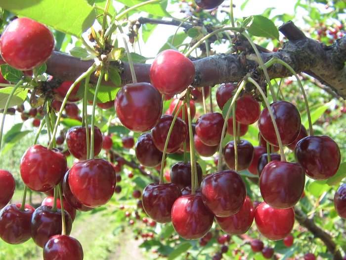 Вишня Молодежная правила посадки и выращивания