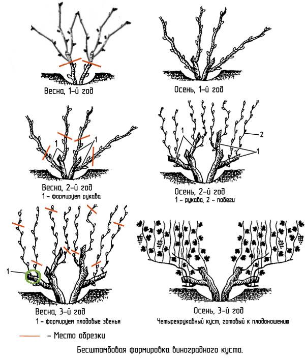 Как обрезать молодой виноград - бесштамбовая формировка (инструкция по годам)