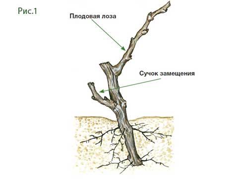 Как обрезать молодой виноград - основные термины при формировании куста