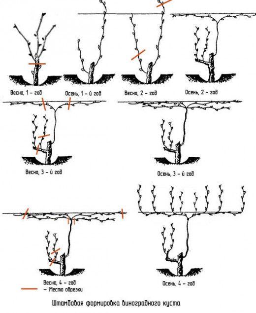 Как обрезать молодой виноград - штамбовое формирование куста