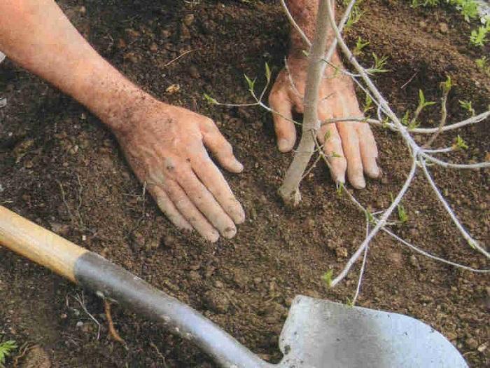 Как подготовить место для посадки вишни осенью