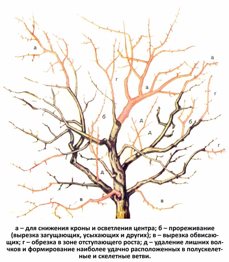 Обрезка старых яблонь осенью для начинающих в картинках пошагово, юбилеем года вместе