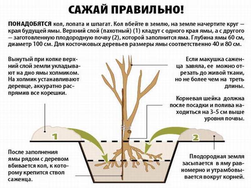 Как правильно посадить саженец вишни осенью