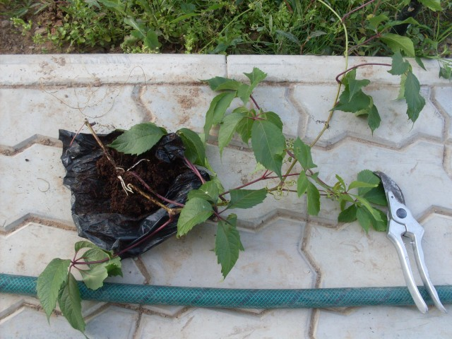 Как размножить дикий виноград - особенности посадки корневой поросли