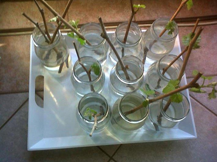 Как размножить дикий виноград - получение здоровых черенков