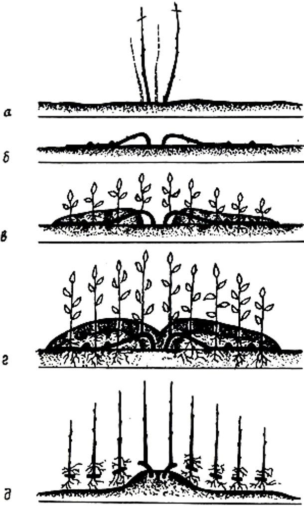Как размножить дикий виноград - схема размножения методом вертикальных отводков