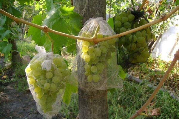 Как сделать мешочки для защиты винограда от птиц
