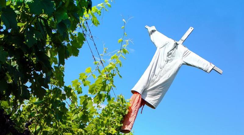 Как защитить виноград от птиц - как сделать пугало