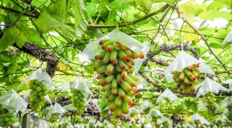 Как защитить виноград от птиц - какие птицы вредят растению