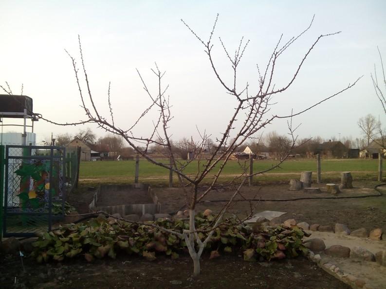 Обрезка абрикоса - низкоштамбовое дерево кустовидного типа