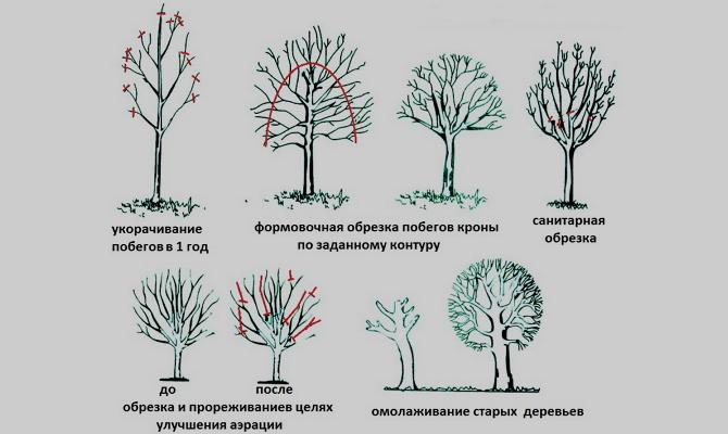 Обрезка абрикоса - основные причины обрезки деревьев