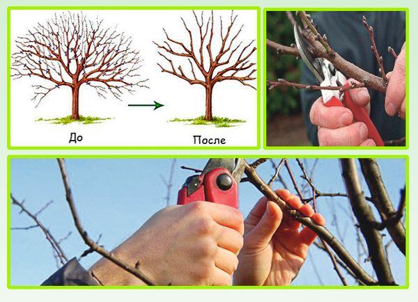 Обрезка абрикоса - особенности проведения процедуры