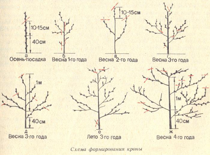 Обрезка абрикоса по годам и по сезонам