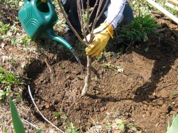 Посадка вишни осенью, выбор саженца и места для выращивания
