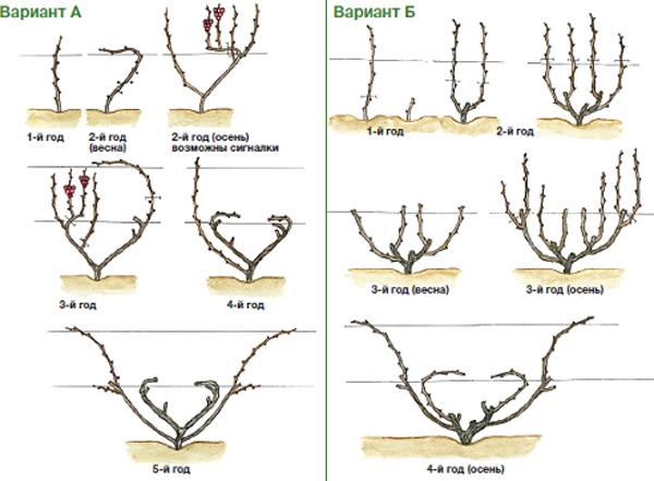 Схема веерной обрезки молодого виноградного куста - два способа