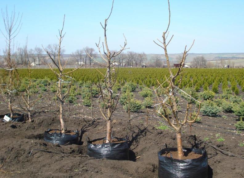 Технология посадки вишни в средней полосе осенью