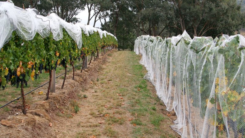 Укрытие винограда сеткой для защиты от птиц
