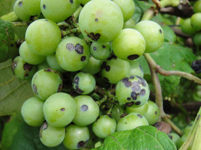 Антракноз винограда - как предотвратить поражение плодов