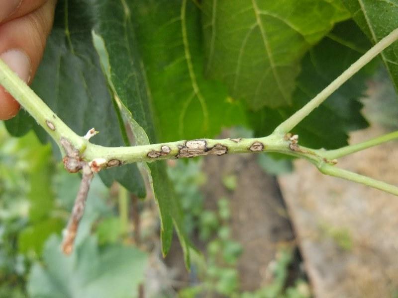 Антракноз винограда - как выглядят пораженные побеги
