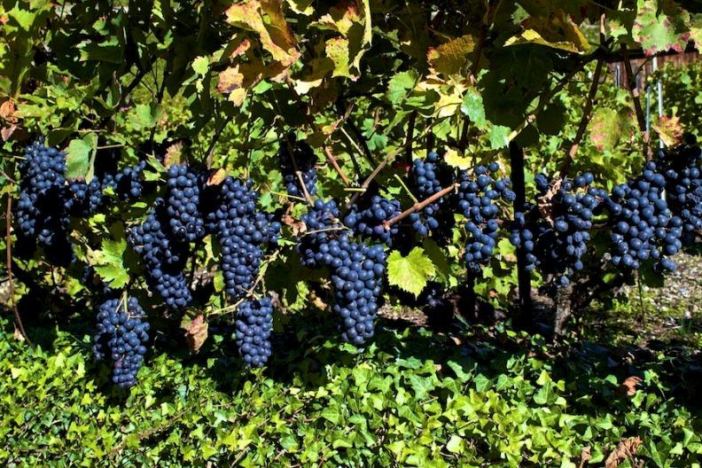 Ароматные и сочные грозди винограда сорта Пино Нуар