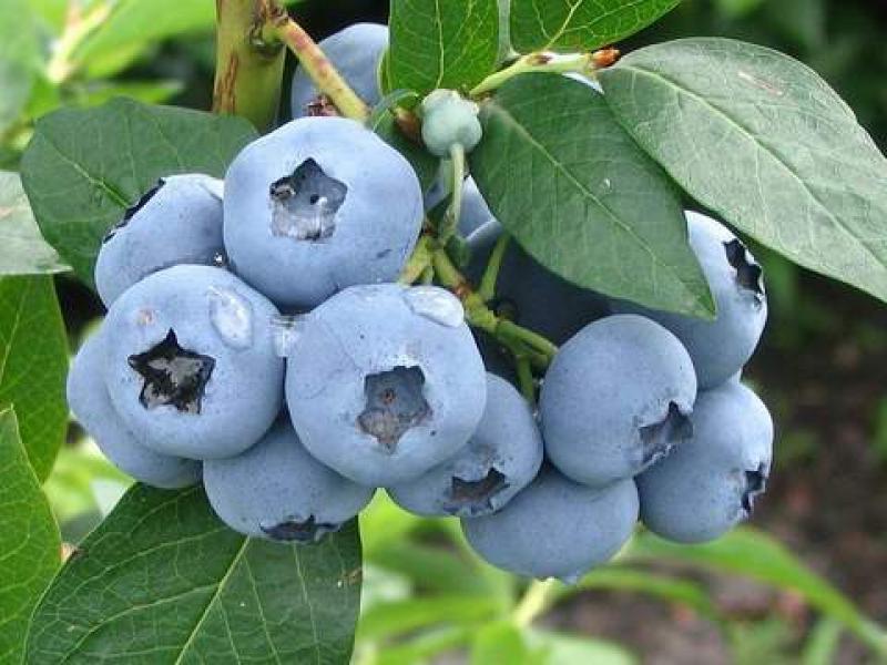 Голубика садовая сорта Блюголд