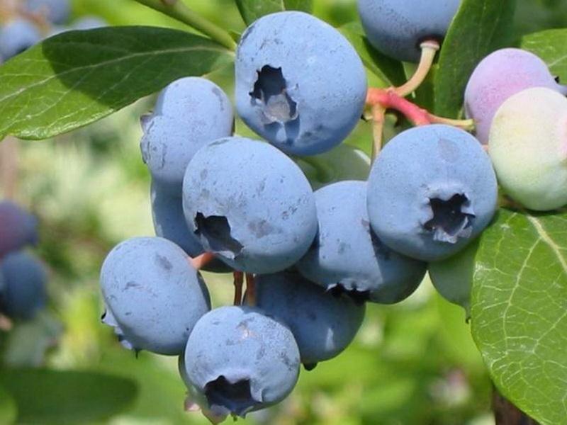 Голубика сорта Блукроп - особенности выращивания культуры
