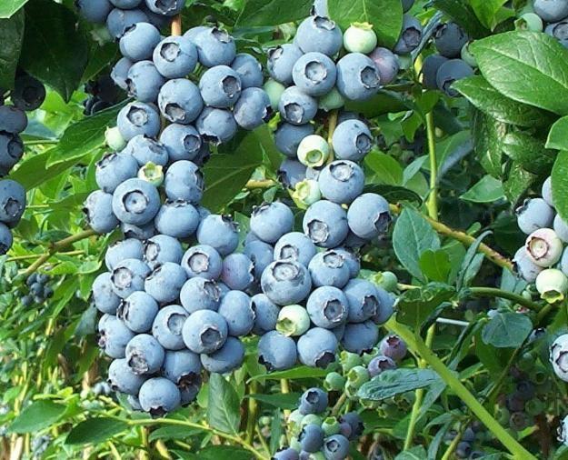 Голубика сорта Чандлер - особенности выращивания и ухода