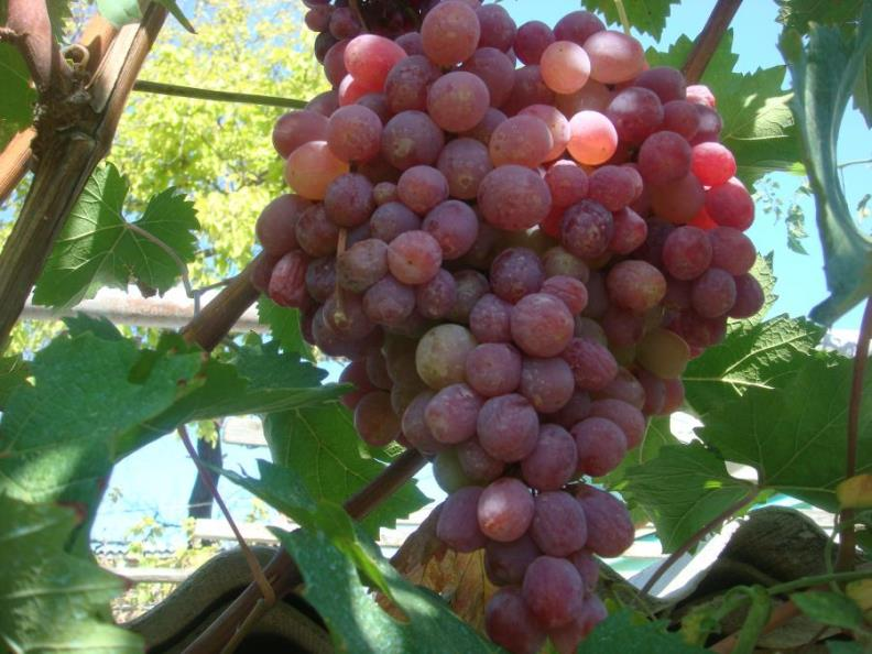 Как получить высокий урожай винограда Тайфи