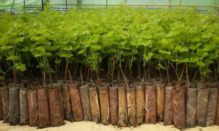 Как получить здоровые черенки винограда для посадки в домашних условиях