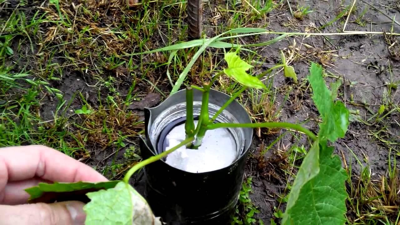 Как размножить виноград черенками осенью - можно ли использовать зеленые отростки
