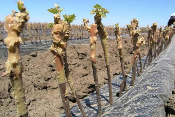 Как размножить виноград черенками осенью - приготовление почвосмеси для посадки