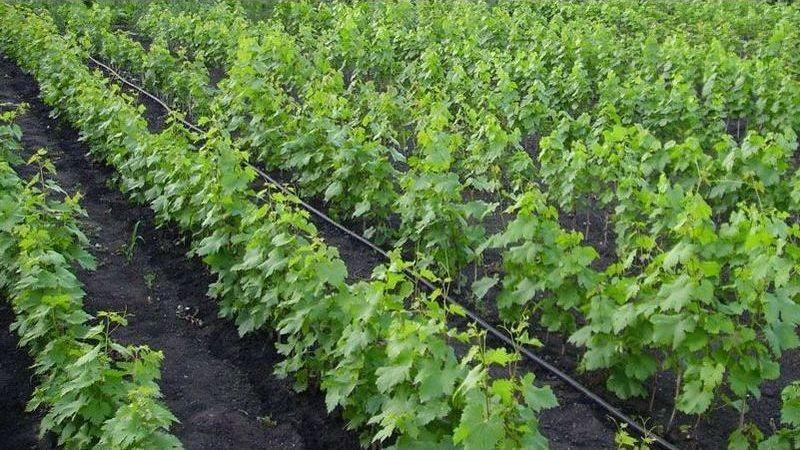 Как размножить виноград черенками - специфика посадки в открытую почву
