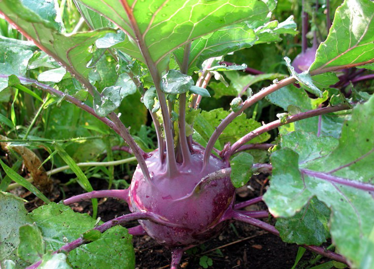 Кольраби выращивание и уход - какому сорту отдать предпочтение