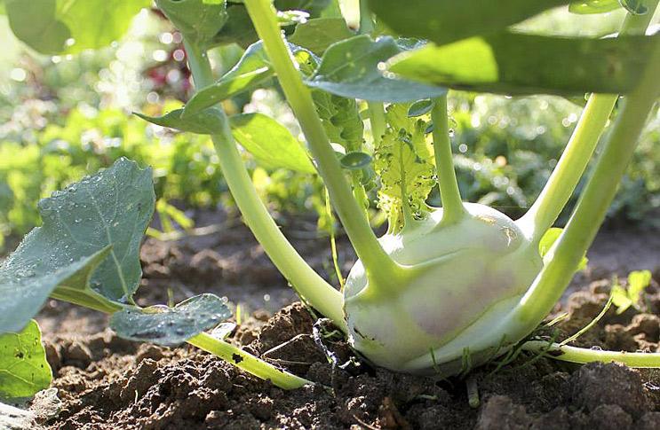 Кольраби выращивание и уход - выбор оптимального места для посадки