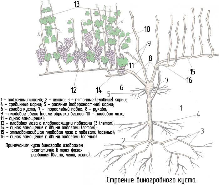 Корневая система винограда - описание основных составляющих