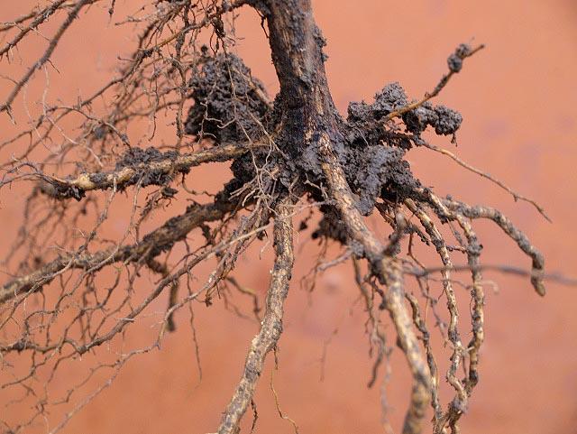 Корневая система винограда - основные функции
