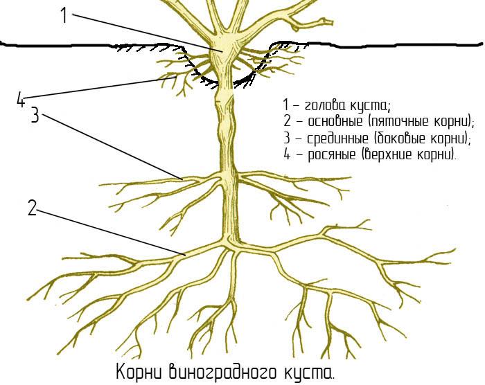 Корневая система винограда - основные понятия
