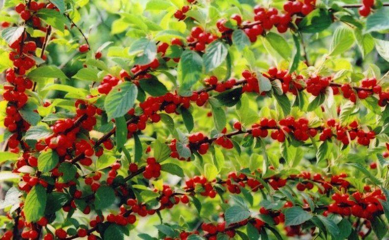 Обрезка войлочной вишни осенью - как не допустить ошибок