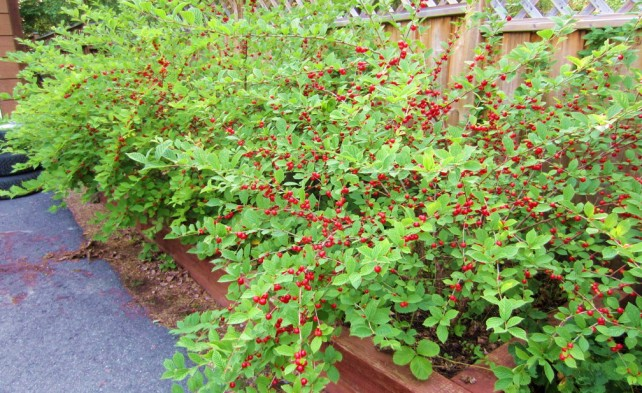 Обрезка войлочной вишни осенью - как обеспечить хорошее плодоношение