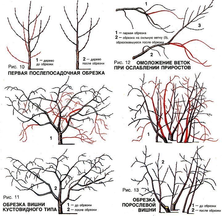 Обрезка войлочной вишни осенью - как правильно обрезать дерево