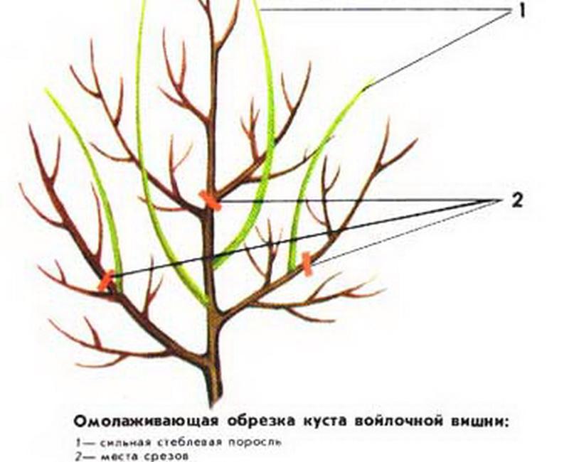Обрезка войлочной вишни осенью - омолаживающая процедура