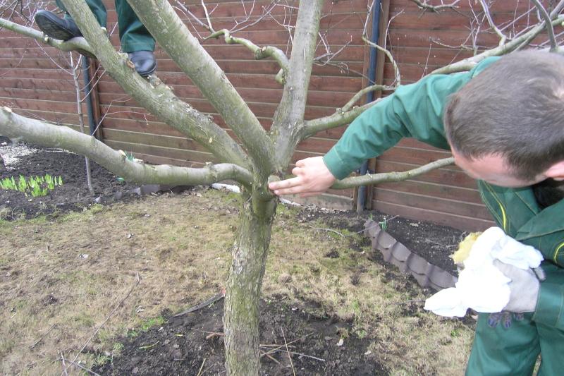 Обрезка войлочной вишни осенью - основные правила процедуры