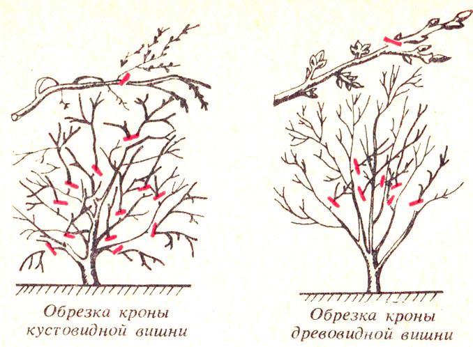 Основные различия в обрезке кустовидной и древовидной вишни