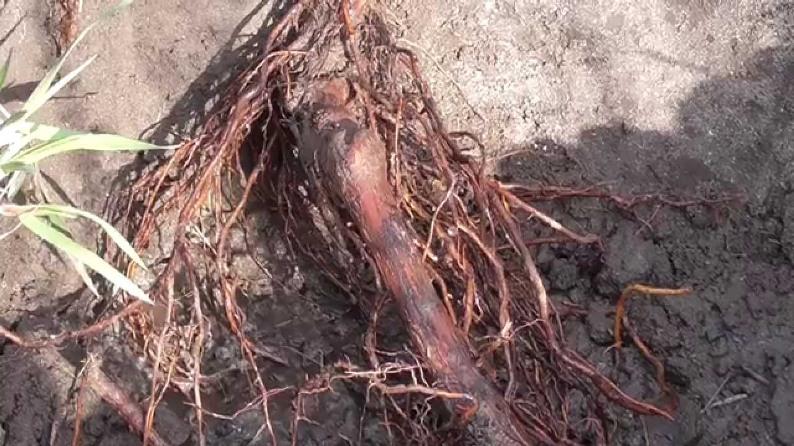 Пересадка взрослого четырехлетнего куста винограда