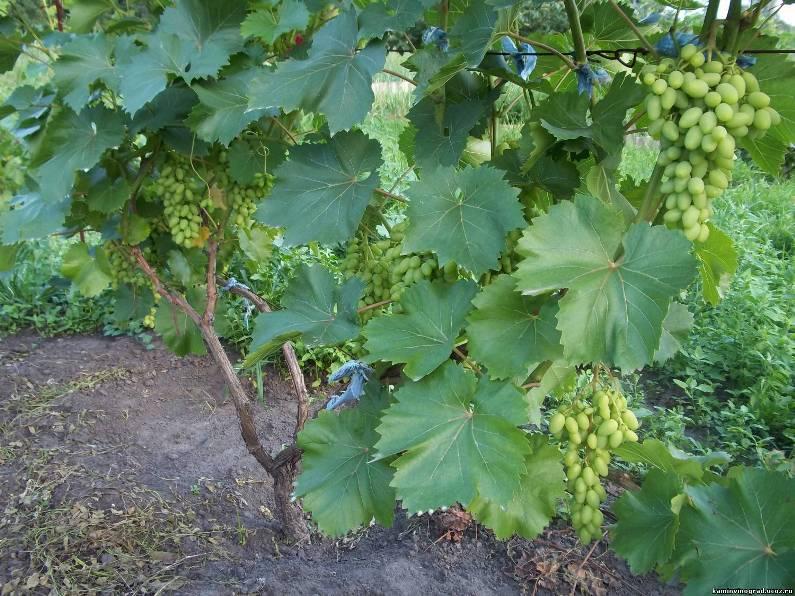 Пересадка взрослого винограда - как не повредить корневую систему растения