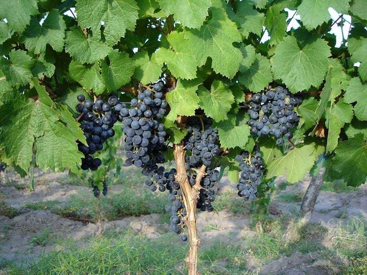Пересадка взрослого винограда - как не снизить показатели урожайности после перевалки