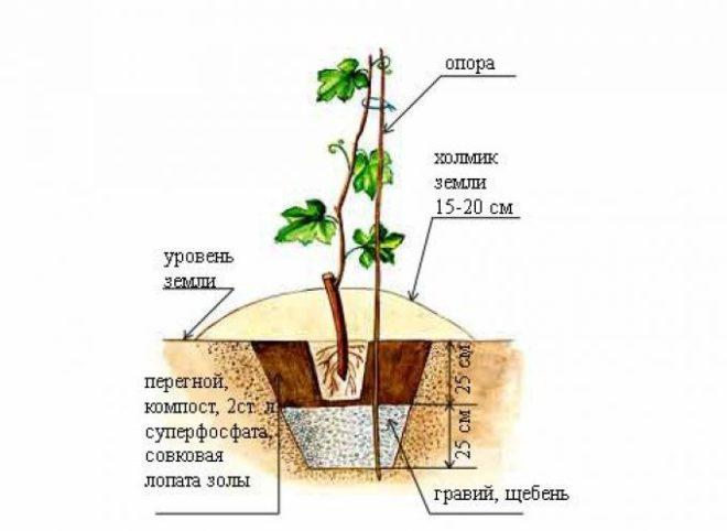 Пересадка взрослого винограда - подготовка места для выращивания