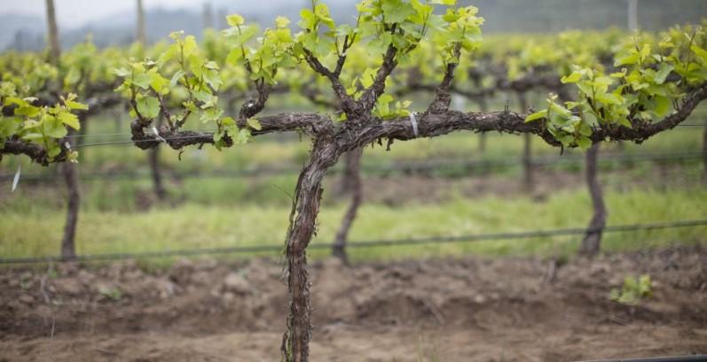 Пересадка взрослого винограда - секреты опытных дачников
