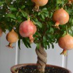 Гранат растение