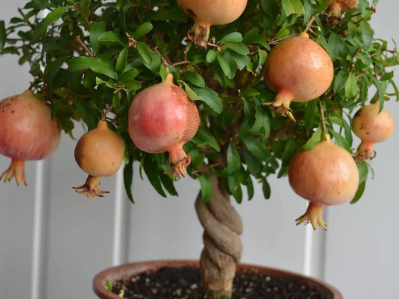 Гранат дерево описание
